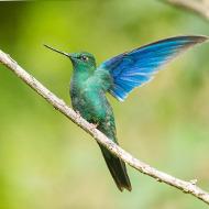 蓝翅大蜂鸟