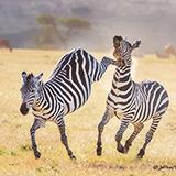 《非洲故事》—2016东非生态行摄直播贴